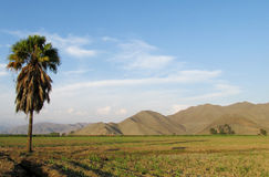 Lonely palm tree in the field royalty free stock photography