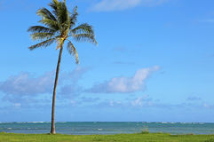 Lonely palm tree in Kualoa Regional Park Stock Images
