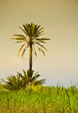 Lonely palm tree in the savannah landscape Royalty Free Stock Photography