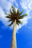 Lonely palm tree on sky background. Stock Photo