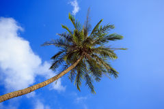 Lonely palm tree on sky background. Thailand. Koh Samui. Royalty Free Stock Photo