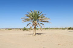 Lonely palm tree royalty free stock images