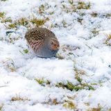 A lonely partridge Stock Image