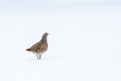 A lonely partridge Royalty Free Stock Photography