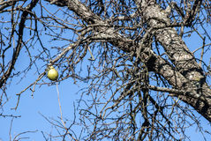 Lonely pear left on branch Royalty Free Stock Images