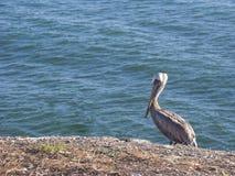 Lonely Pelican stock photos