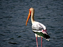 The Lonely Pelican Stock Image