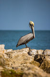 Lonely Pelican on Reef Stock Photo