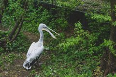 Lonely pelican in a wild forest somewhere in Moscow royalty free stock photos