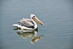 Lonely Pelicans. Pelicans floating on water in the lake park Stock Photos
