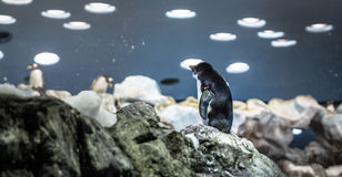 Lonely Penguin Stock Photography