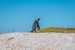 Lonely Penguin in Boulders Beach South Africa Stock Images