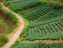 Free Lonely People, Way, Walk, Tea Field, Dalat Royalty Free Stock Image - 69239546
