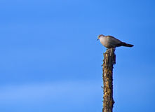 Lonely pigeon on chopped tree. Gray pigeon standing on top of a chopped tree Stock Photo