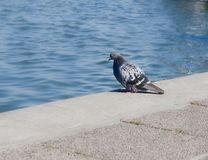 Lonely Pigeon on the Embankment Royalty Free Stock Images