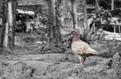 A Lonely Pigeon on the ground Royalty Free Stock Photography