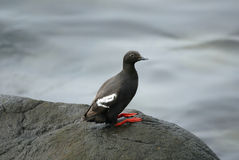 Lonely pigeon guillemot Royalty Free Stock Photo