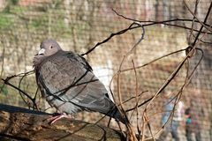 Lonely pigeon royalty free stock photography
