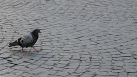 Lonely pigeon on the sidewalk stock video