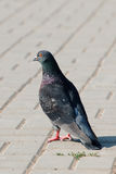 Lonely pigeon standing on a claw in paved street Stock Photo