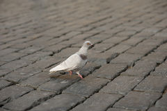 A lonely pigeon standing on a claw in paved street Royalty Free Stock Photo