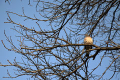Lonely pigeon on tree Stock Photography