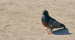 A lonely pigeon walks in the park in clear weather. bird close up. stock image