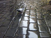 Lonely pigeon on a wet coble street Stock Images