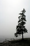 Lonely Pine Royalty Free Stock Images