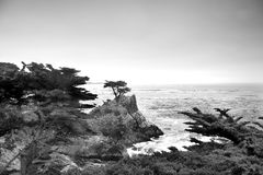 Lonely Pine at the 17-Mile Drive Royalty Free Stock Images