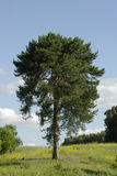 Lonely pine Royalty Free Stock Photo
