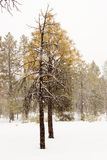 Lonely pine. A lonely pine tree. This was taken at the start of a snow storm in northern AZ royalty free stock photo