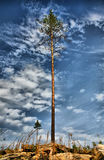 Lonely pine against cloudy sky Stock Image