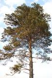 Lonely pine Stock Photos