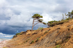 Lonely pine on baltic coast. Stock Photography