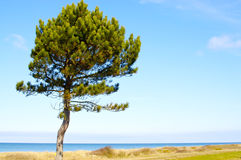 Lonely pine on the beach Royalty Free Stock Photo