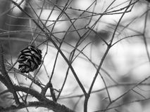 Lonely pine cone. A lonely pine cone in winter leafless branches. Black & white filter applied Royalty Free Stock Image