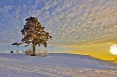 Lonely Pine in the golden rays of a winter sunset Stock Photo