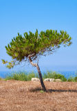 A lonely pine growing on the scorched earth on the Mediterranean. A lonely pine shaped by the wind growing on the scorched earth on the Mediterranean coast near Stock Photo