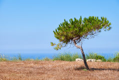 A lonely pine growing on the scorched earth on the Mediterranean. A lonely pine shaped by the wind growing on the scorched earth on the Mediterranean coast near Royalty Free Stock Images
