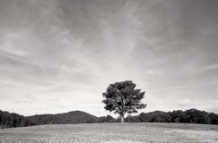 Lonely pine hill royalty free stock photography