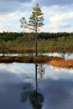 Lonely pine in the middle of a swamp. A pine and it's reflection on a calm cloudy day in the middle of the autumn Royalty Free Stock Images