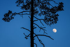 Lonely pine in the moonlight Royalty Free Stock Photo