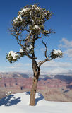 Lonely pine at the rim of the Grand Canyon royalty free stock photography