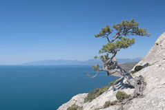 Lonely pine on the rock at seaside stock photography