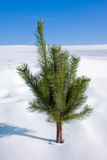 Lonely Pine on snow Royalty Free Stock Photo