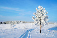 Lonely pine snow covered Royalty Free Stock Photography