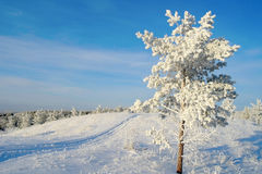Lonely pine snow covered Stock Photo