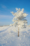 Lonely pine snow covered Royalty Free Stock Images