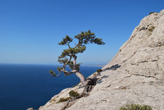 Lonely pine on a stony slope Royalty Free Stock Image